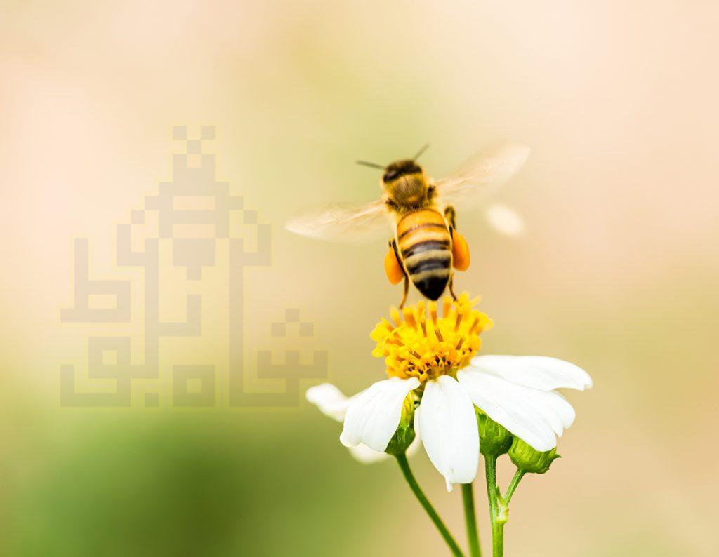 جمع کردن گرده گل توسط زنبور عسل