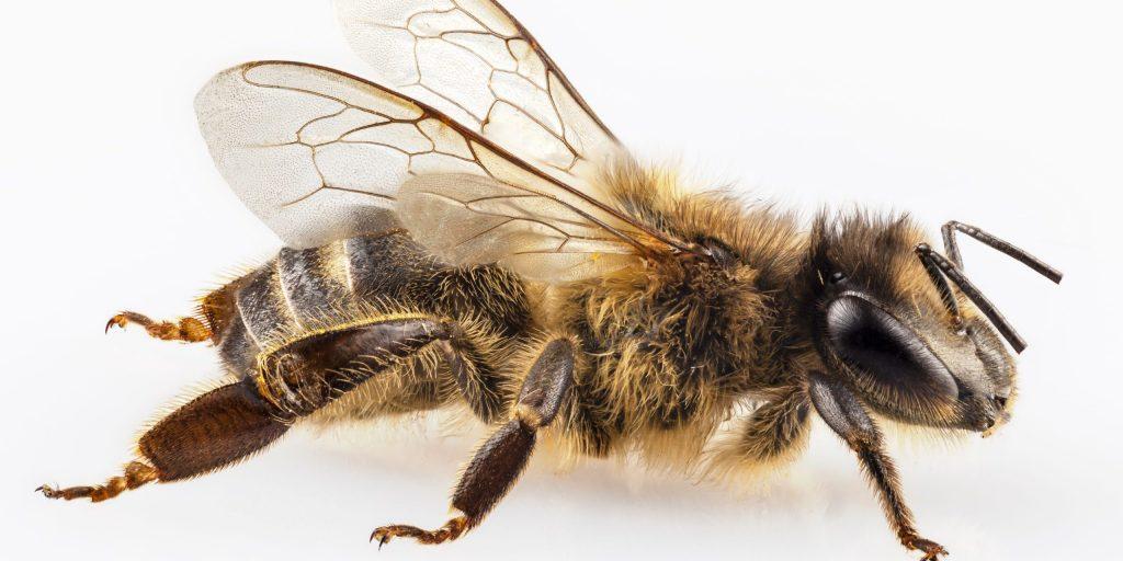 بیماری قلبی و زهر زنبور عسل