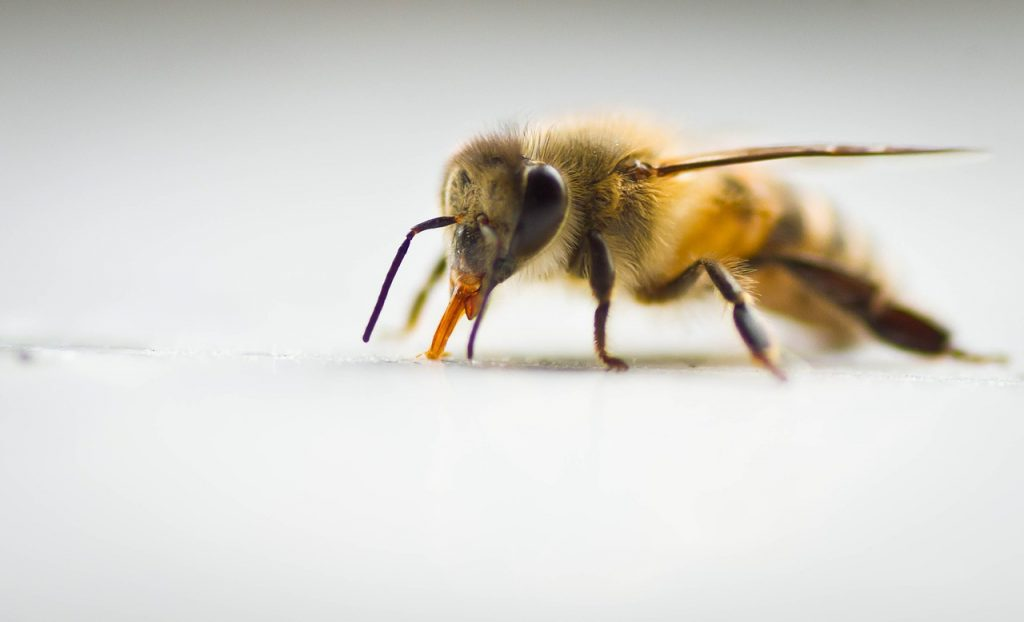 زهرزنبور عسل و درمان رماتیسم